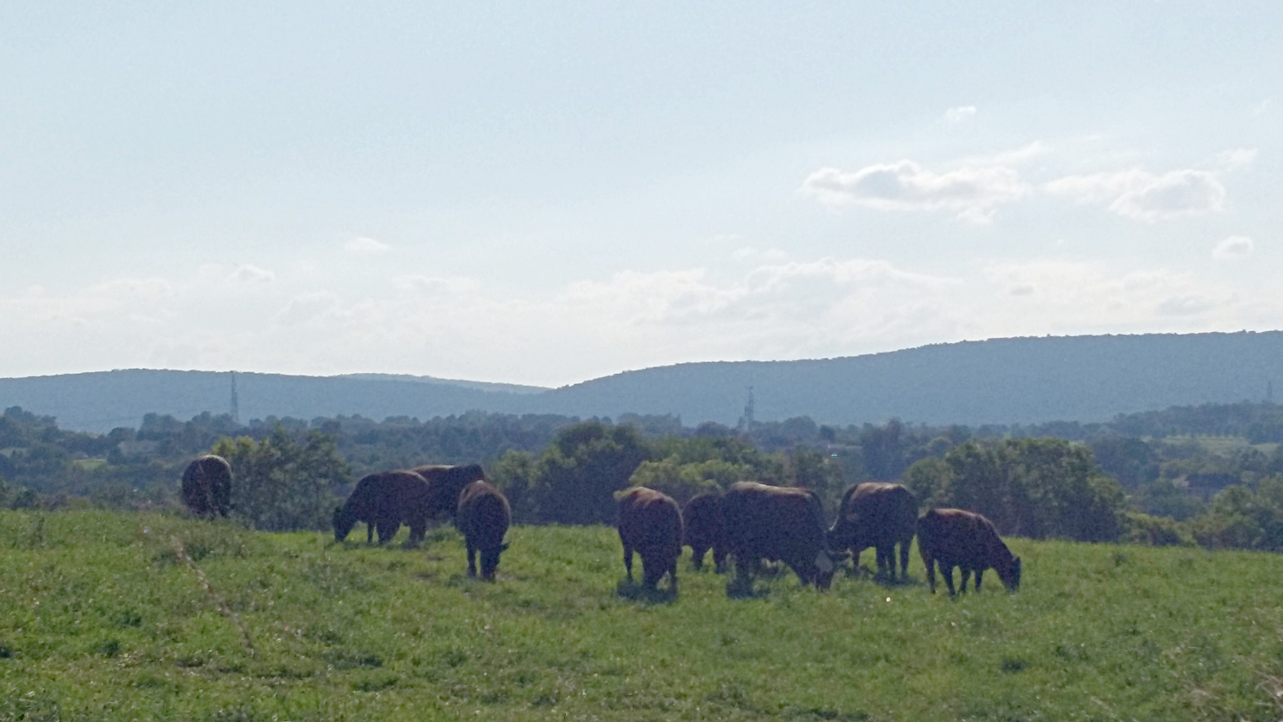 Our grass is so delicious that our steers choose eating over admiring the views.