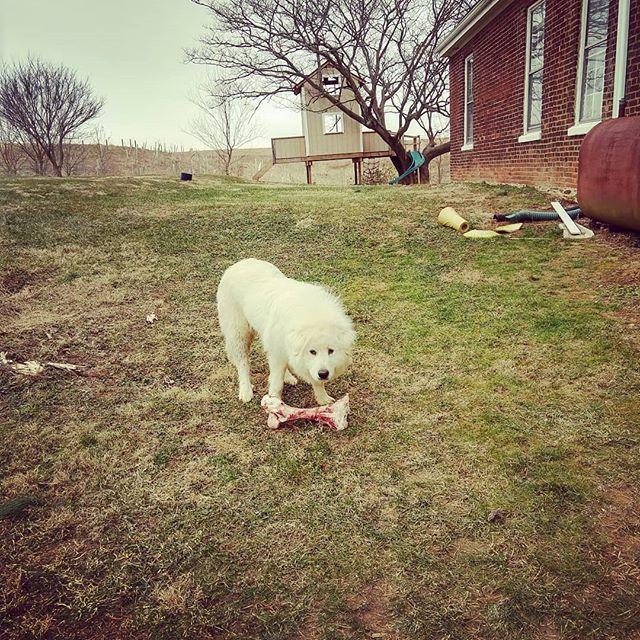 The perks of being a dog on a livestock farm. #giveadogabone #myboneistoobigformymouth #notinapot