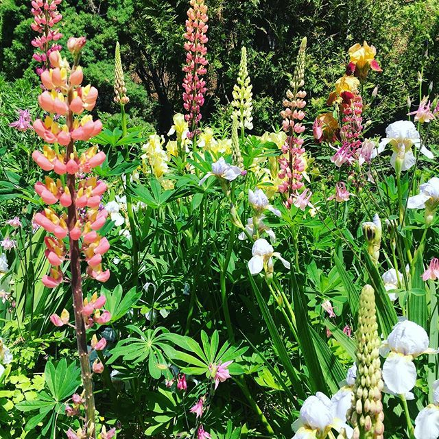 Bright preview of spring for a cold winter day. I love those lupines. #nature #flowers