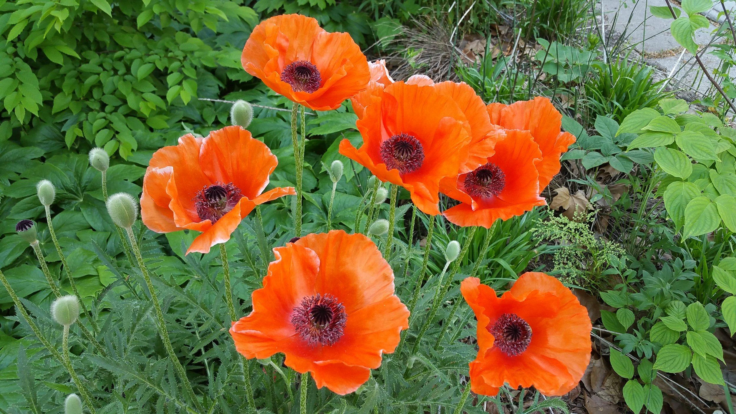 Poppies B Porchuk.jpg