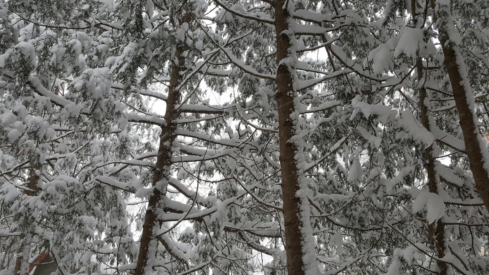 Snow Covered Cedars.jpg