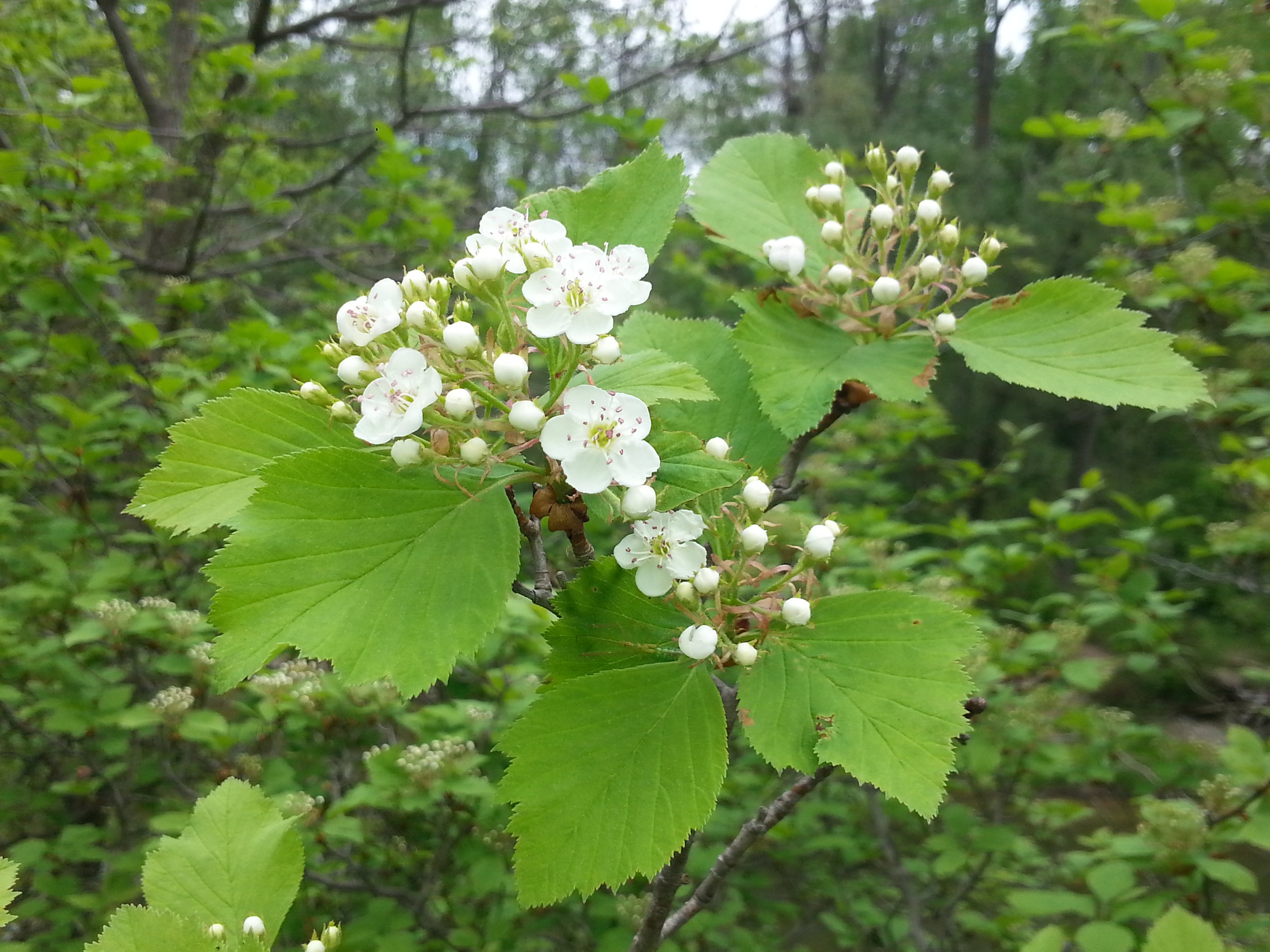 The heart-soothing blossoms of Downy Hawthorn.