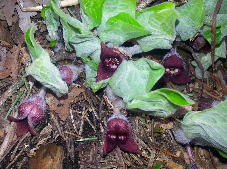 Wild plants are wild medicines. Here, Wild Ginger flowers, beginning its season-long relationship with Ants. What is your medicine?