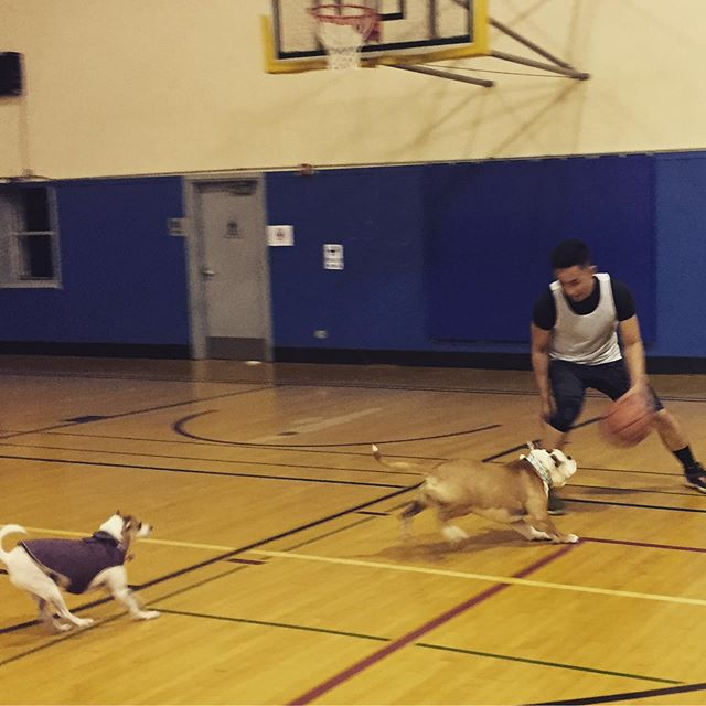 Daisy is taking after her #daddy @andrewchengok #SFGBA #gaybasketball #basketballdog #bulldog #mascot #sanfrancisco #castrodistrict