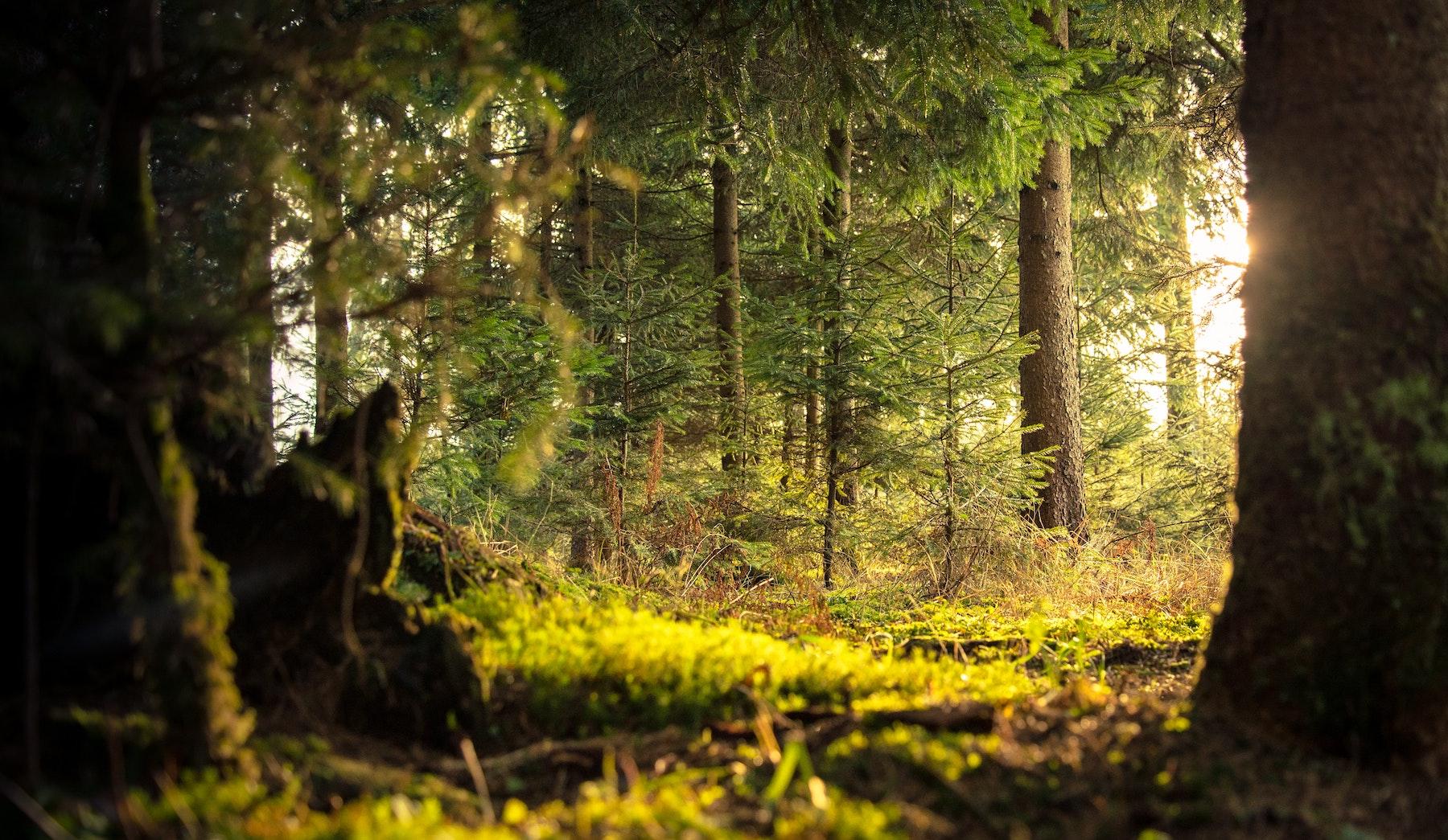 conifer-daylight-environment-338936 copy.jpg