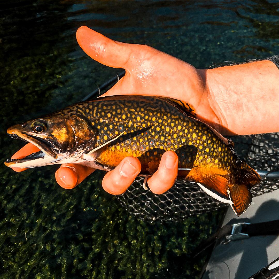 Swift River Brook Trout.jpg