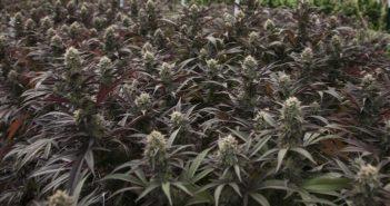 Pennsylvania_Medical_Marijuana_Dispensaries-351x185.jpg