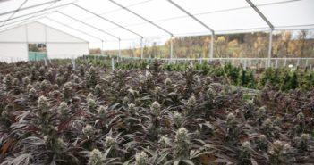Weekly_legislative_update_marijuana-351x185.jpg