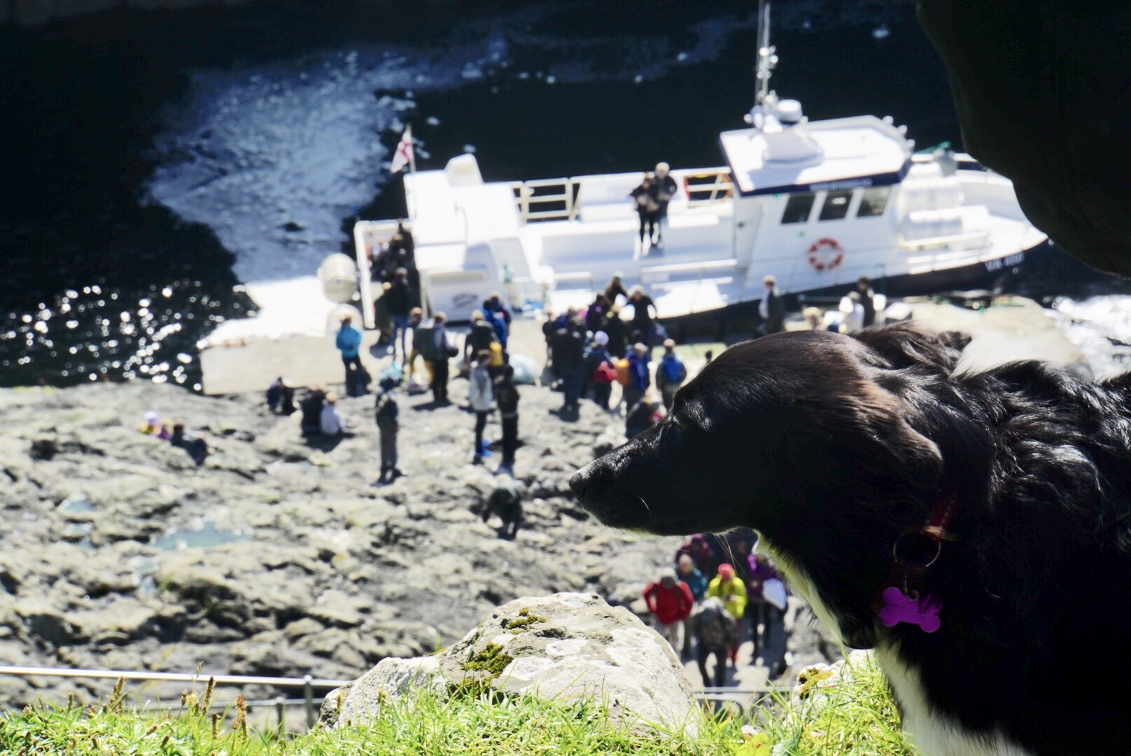 Mykines guardian dog with the ferry in the background