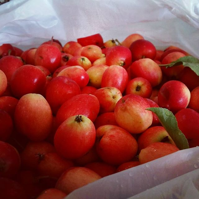 Fall harvest of crab apples from my neighbour Mabel's tree. Got nearly 14 litres of juice from these last night. Hard apple cider, coming right up.  #harvest #fall #apple #crabapple #cider #stephenville #hardcider #homebrew #alcohol #diy #food #organic #realfood #foodie #delicious #booze #autumn #september