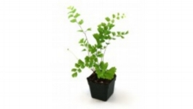 If you have a mature Maidenhair, try and divide her! Pull gently on an outer clump, using a knife to loosen, plant in sterile potting soil or grow in water!