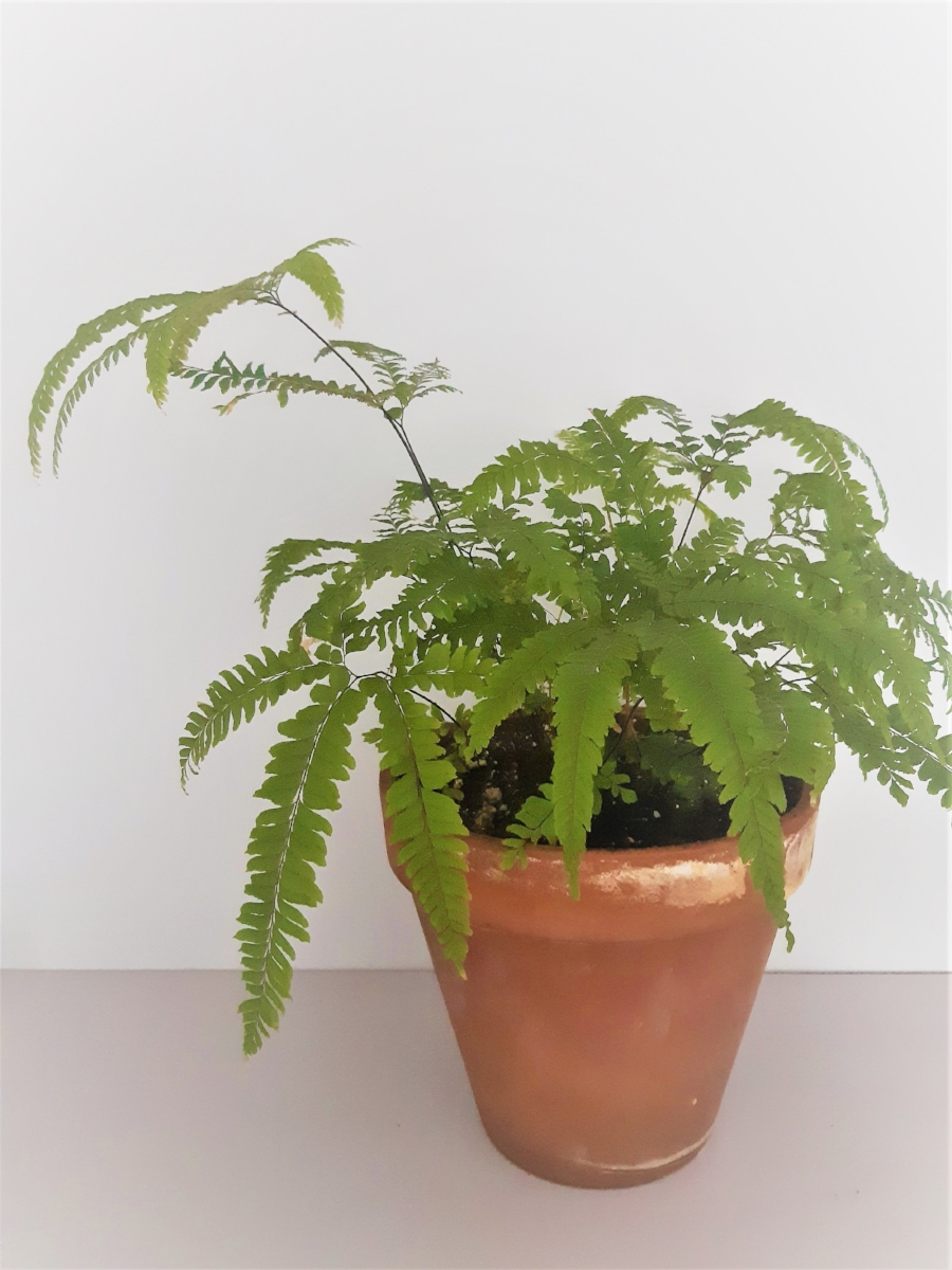 My Rosey Maidenhair Fern,  Adiantum hispidulum,  is quite happy with a lot of thoughtful care.