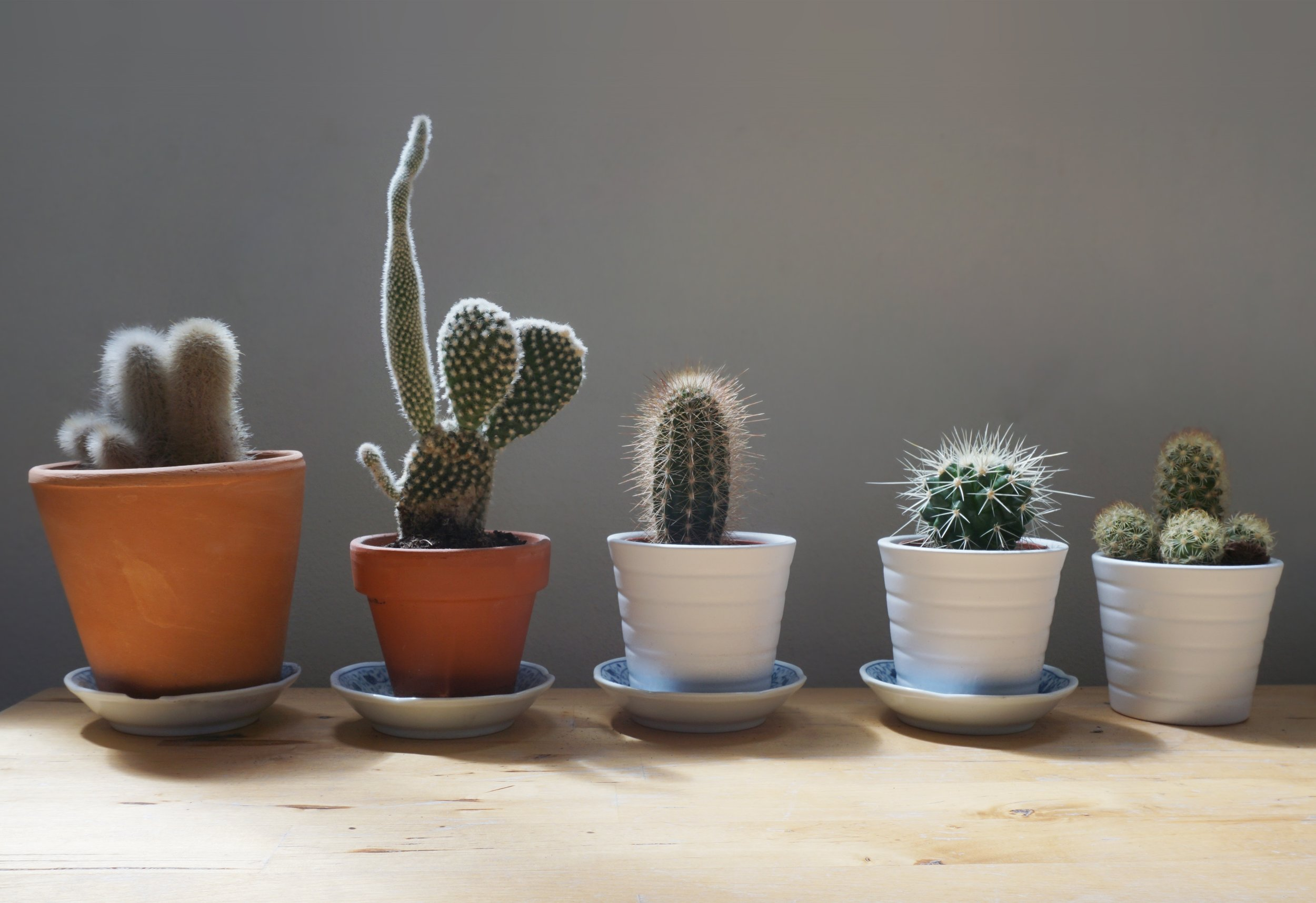Some say cacti and succulents don't need to be fertilized. In my world, I'll give them a sip as I'm passing by, why not? If I can get my  Opuntias  flower, I'd be happy!