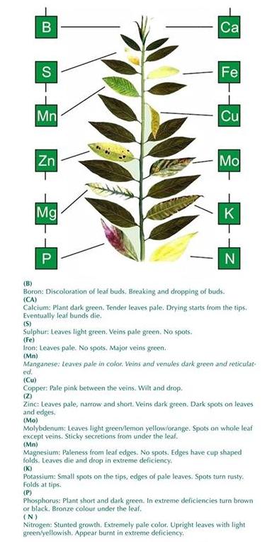 Mircro nutrient deficiencies in plants shown on leaves.