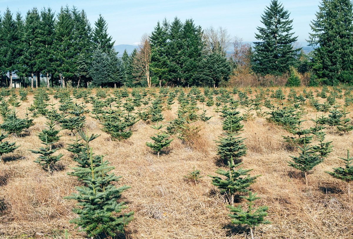 Young Christmas trees in a plantation field.