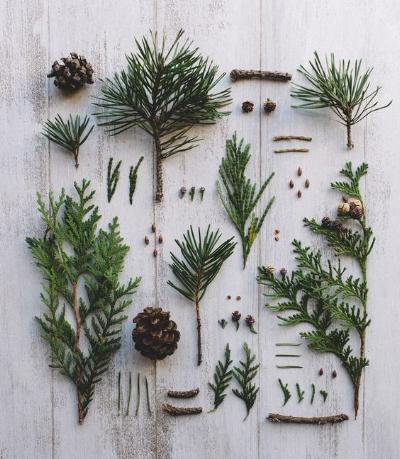 Pinecones, cedar, pine and berries flat lay.