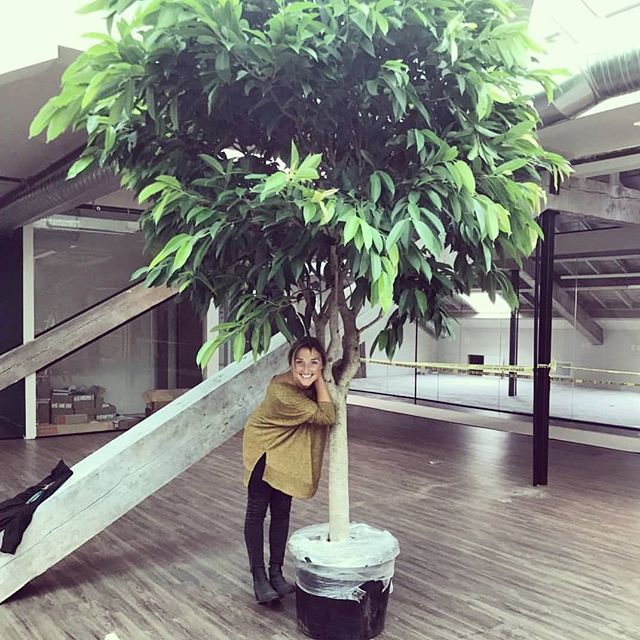 In between weddings (and my full-time roll at the @kwenchcultureclub) I still make time for plants! I have become a tad more choosy in what projects I take on, and this one has me going 🤘. This big boy #ficusamstelking is battling the 3000 sq. ft. glass atrium for the most magnificent feature in the new @kwenchcultureclub building. More to come!  @tessa_mcloughlin @hansenbuiltdesign . . . #botaniccreative #botanicalcreations #biophilicdesign #botany #atrium #greenarchitecture #greencoworking #coworking #officespace #indoortree #ficus #interiordesign #biophilic #workwellness