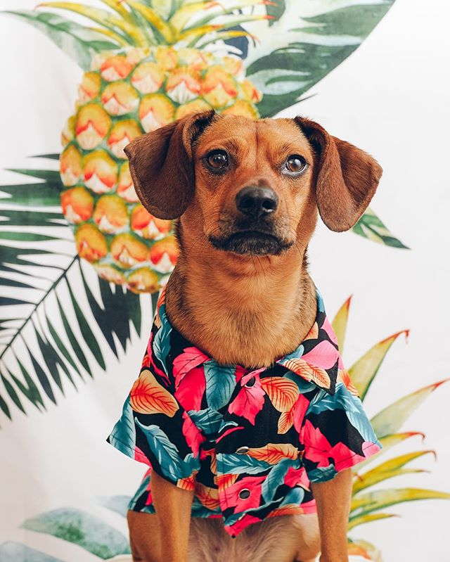 🍍: summer is right around the corner. you know what that means? a summer pawlished issue is coming, showing all of the best doggy fashion trends. stay tuned! 🛍: @chompersandsons