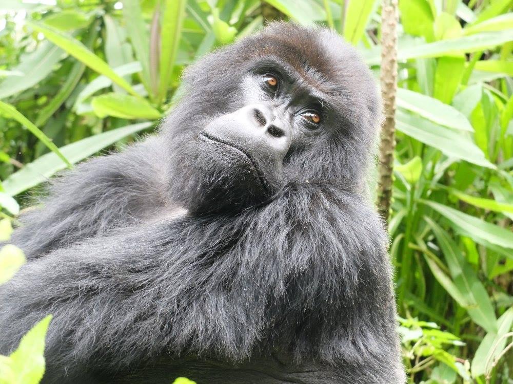 ルワンダ・ゴリラトレッキング - ルワンダでのゴリラツアーです。