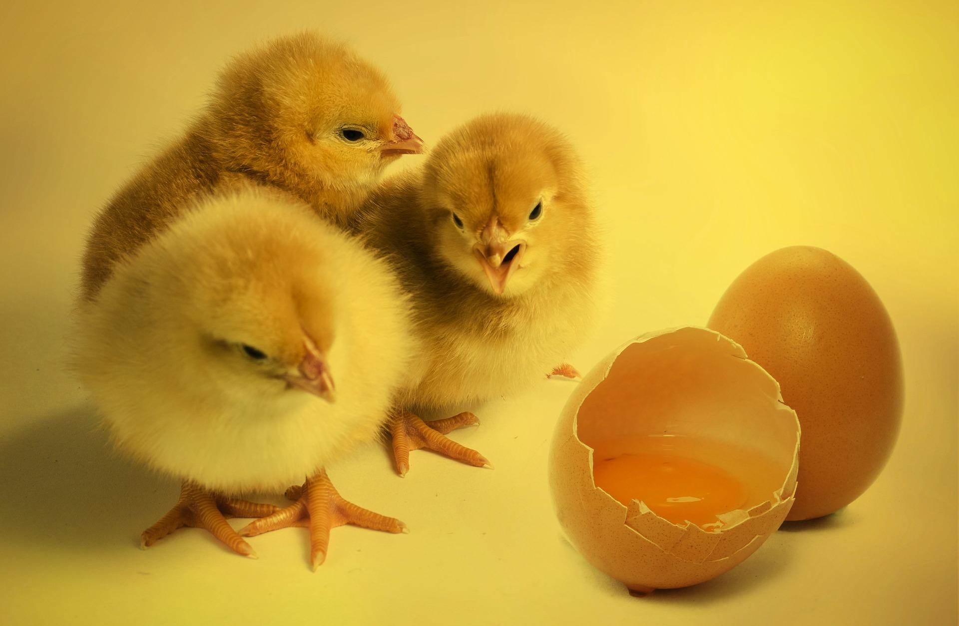 chicks-2965846_1920.jpg