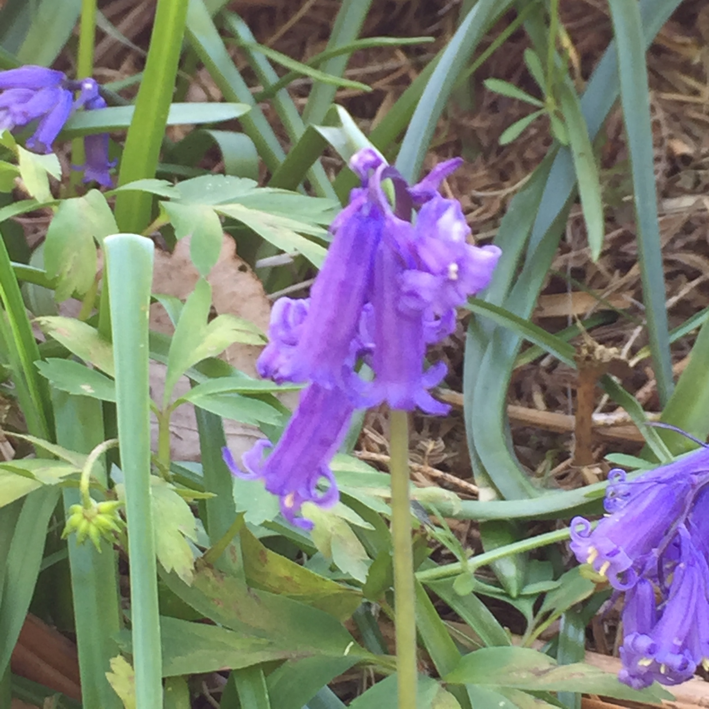 I love the fact that bluebells aren't quite blue!