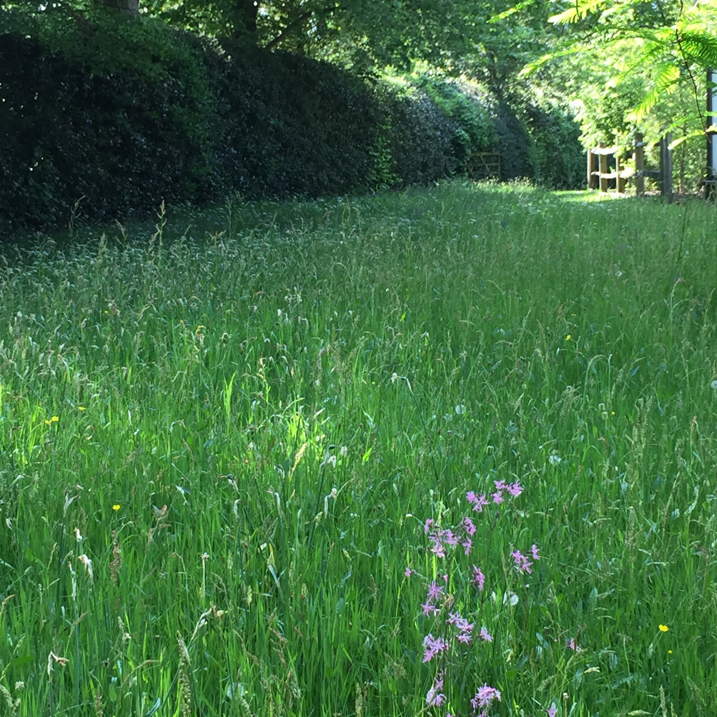 Ragged robin flowering pinkly in my parents' meadow.