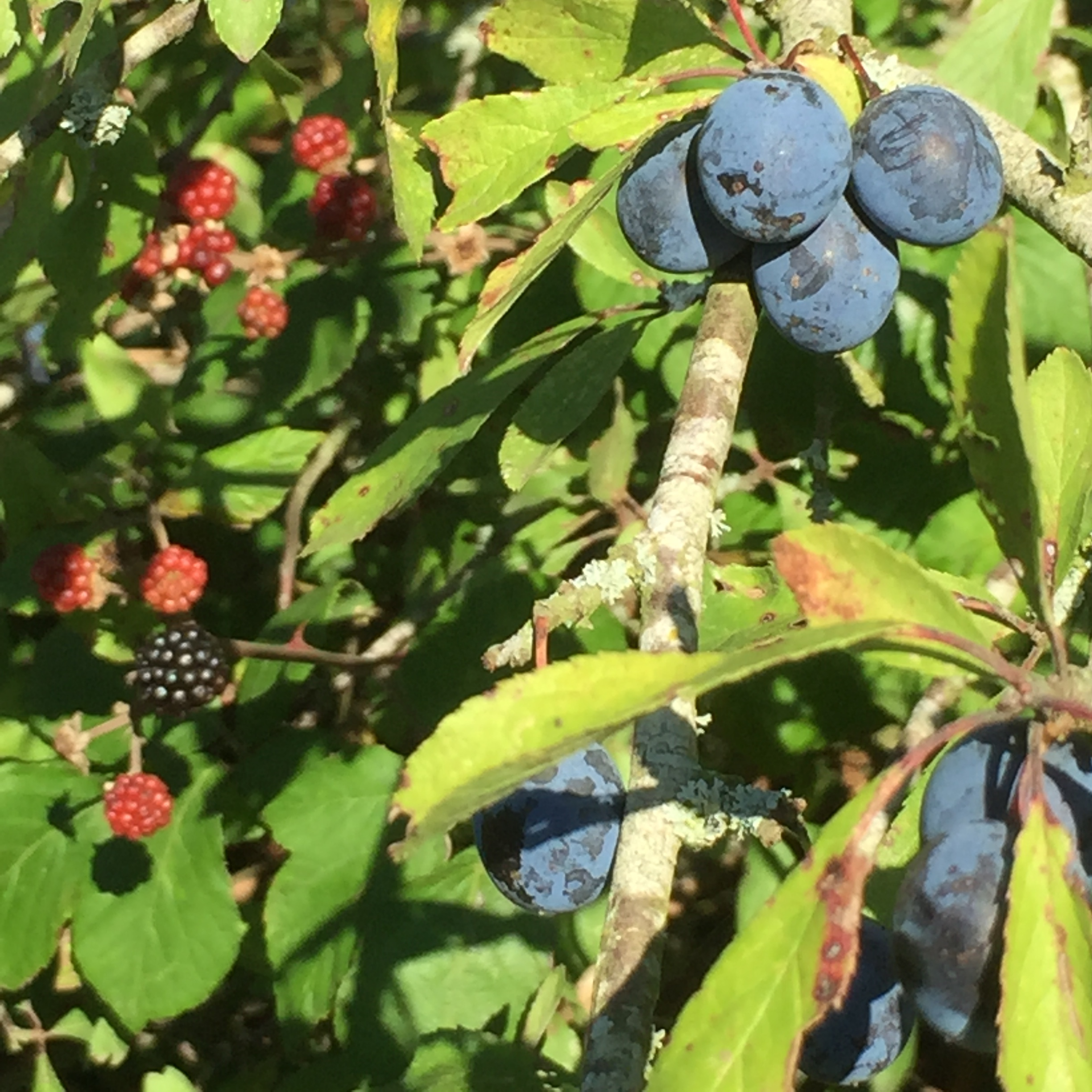 Sloes are looking good! I love the bloom on them.