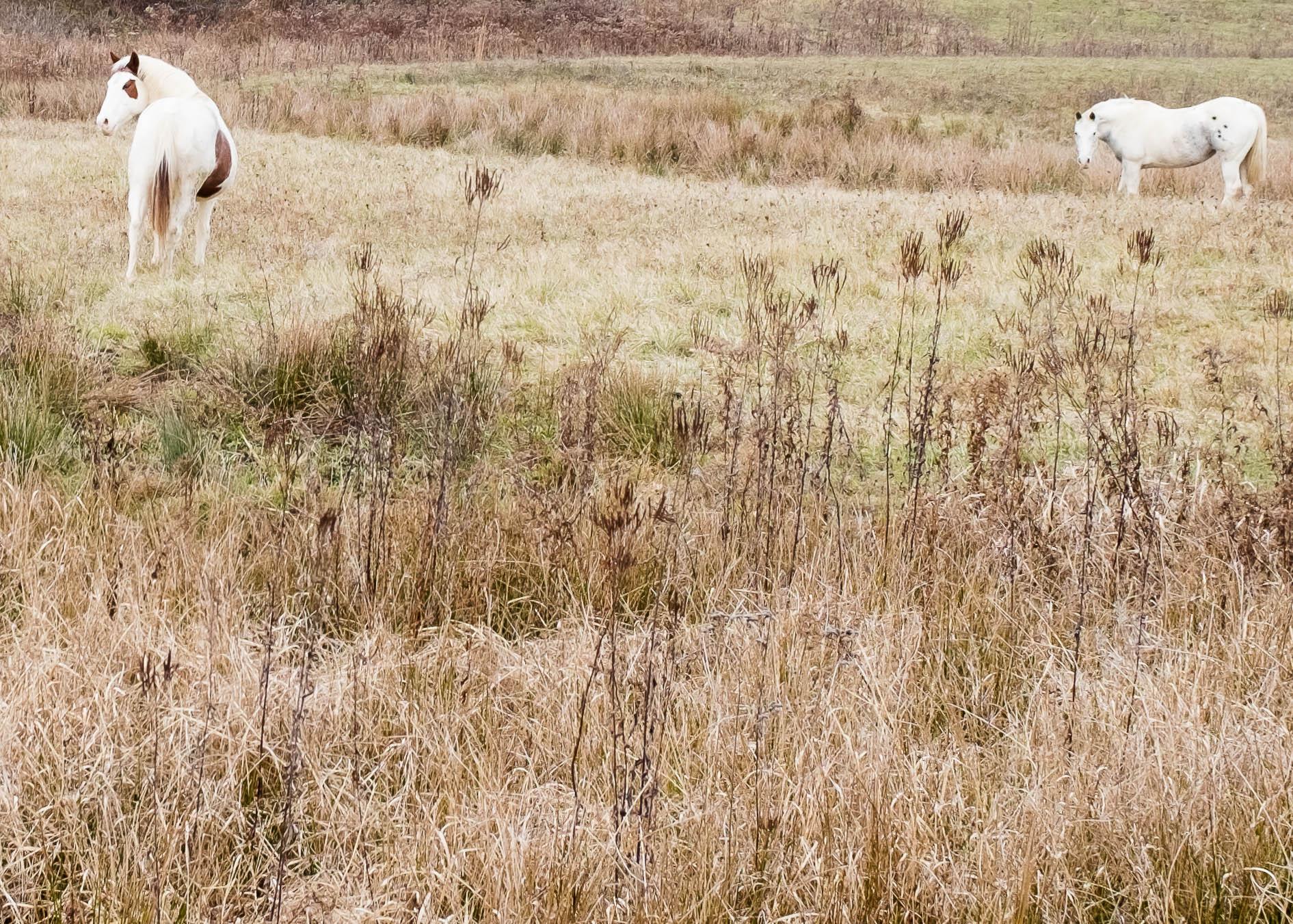 White Horses (1 of 1).jpg