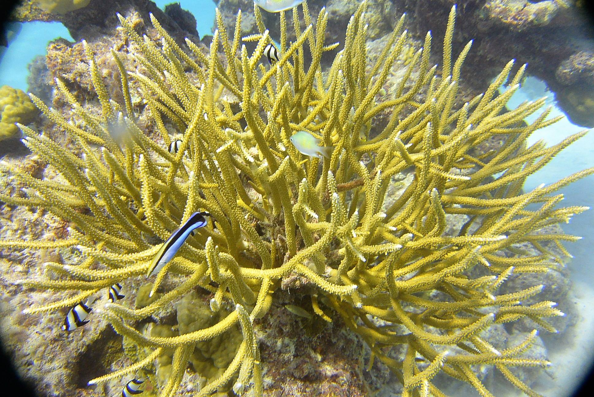Three Band Demoiselle, Clearner Wrasse, Staghorn Coral