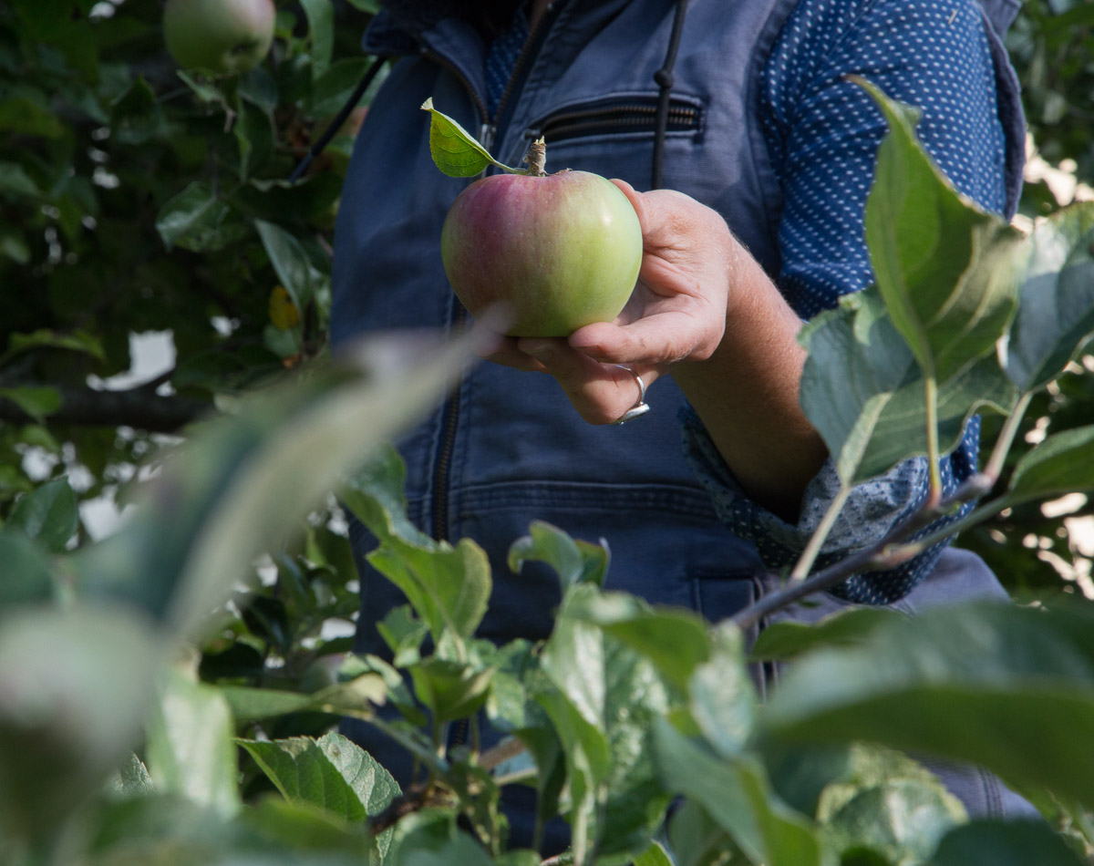 apples-portrait-rockport-maine.jpg