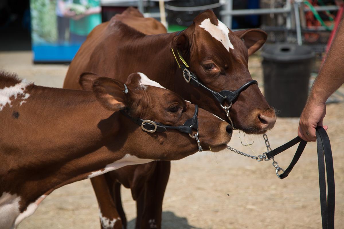 union-fair-cows-maine.jpg