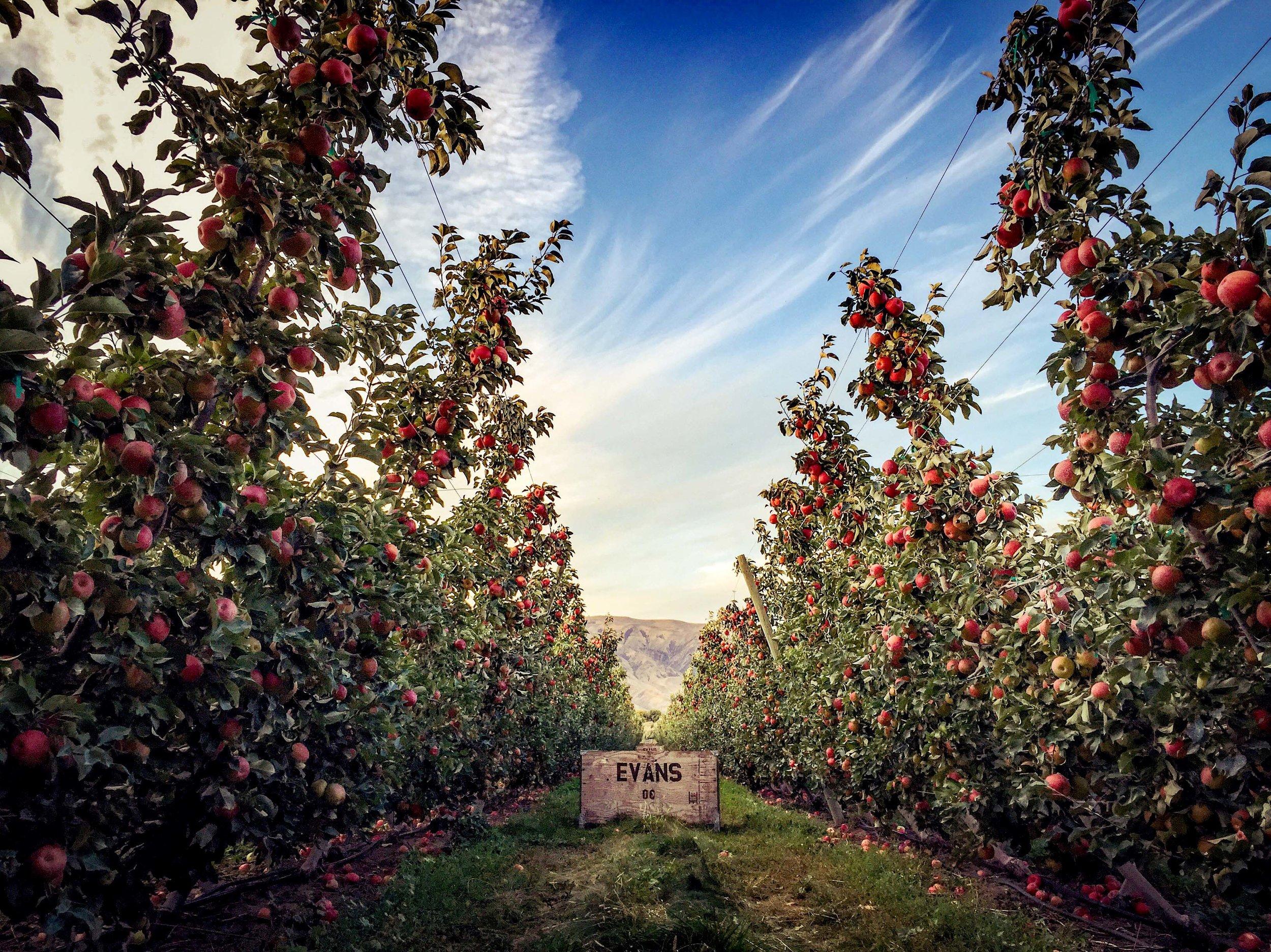 Evans Fruit Bin in Orchard.jpg