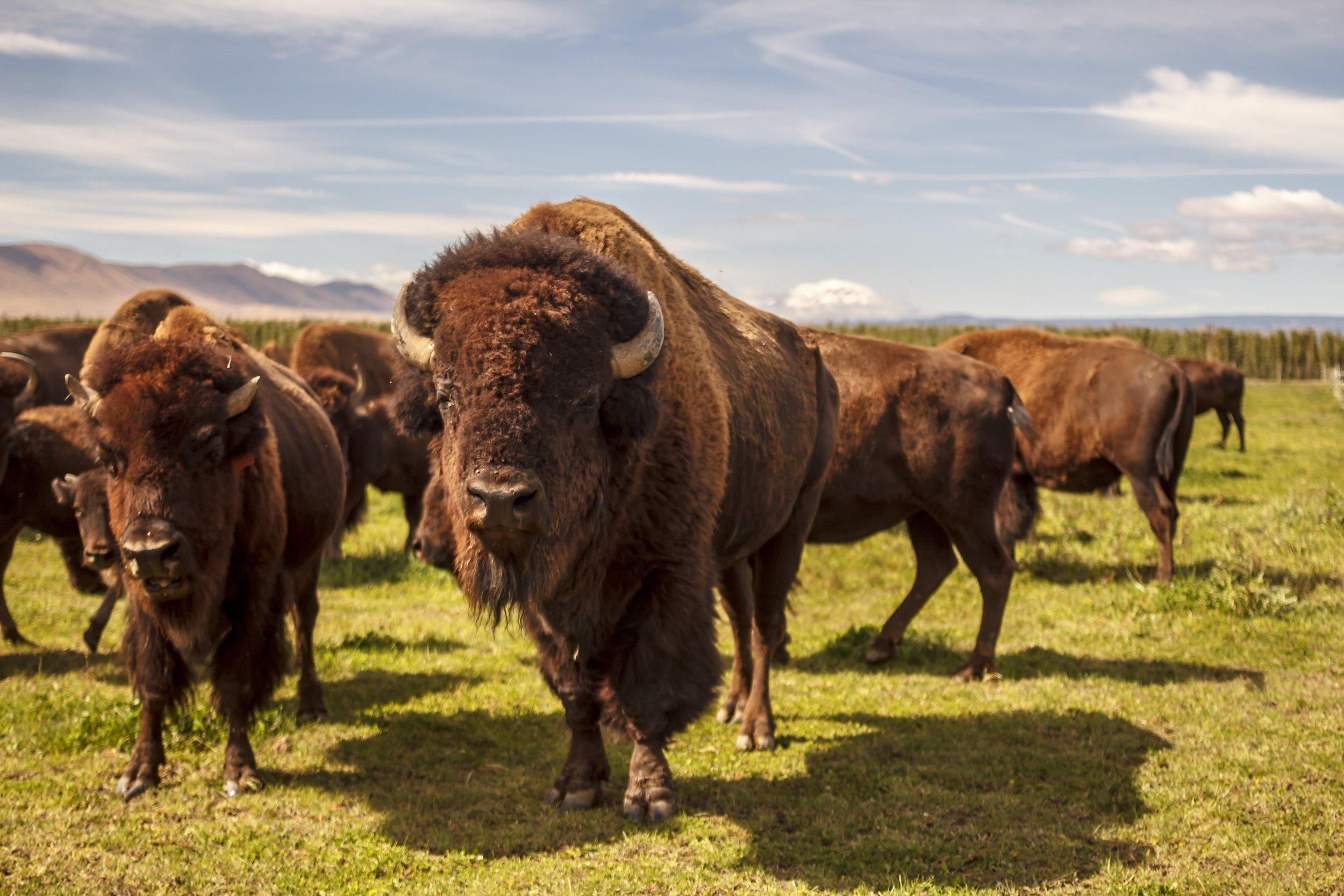 Buffalo Bison Perrault Farms Yakima Valley
