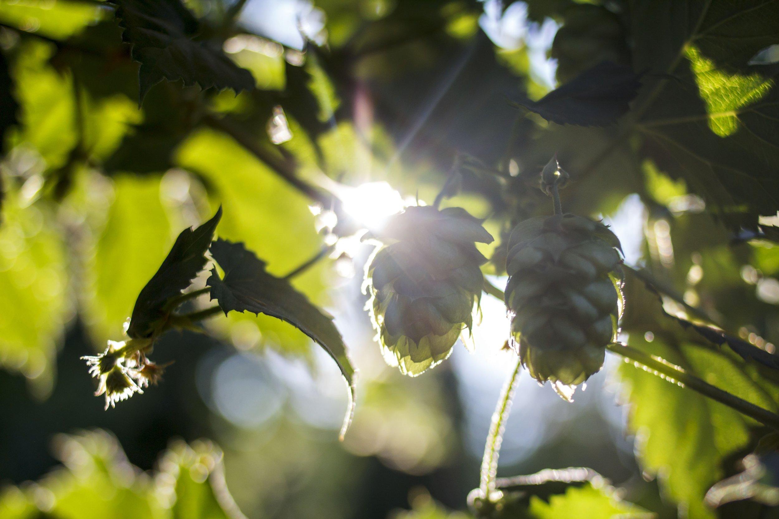 Sunsine through hop cones.JPG