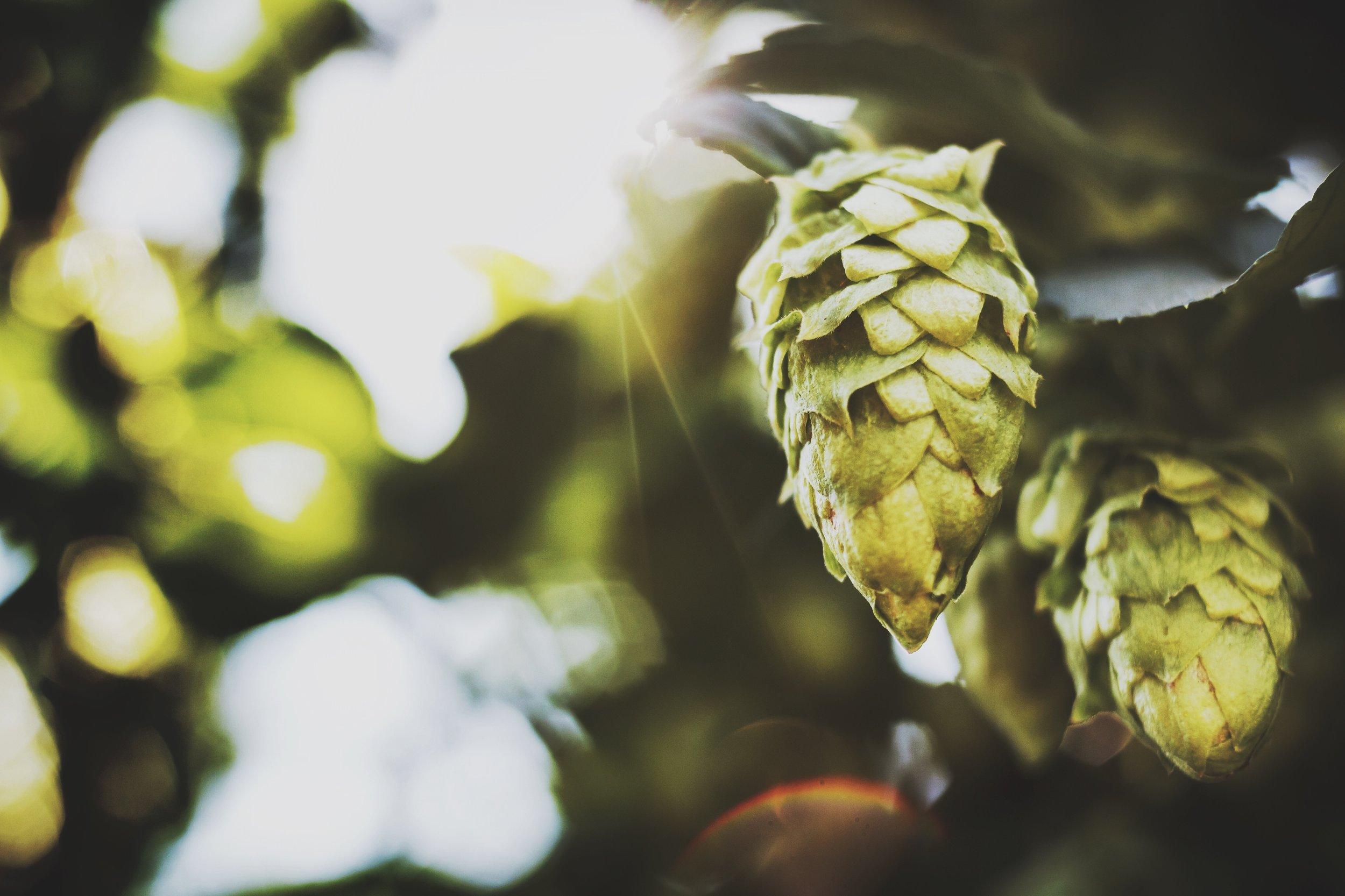 Hop Cone CU.JPG