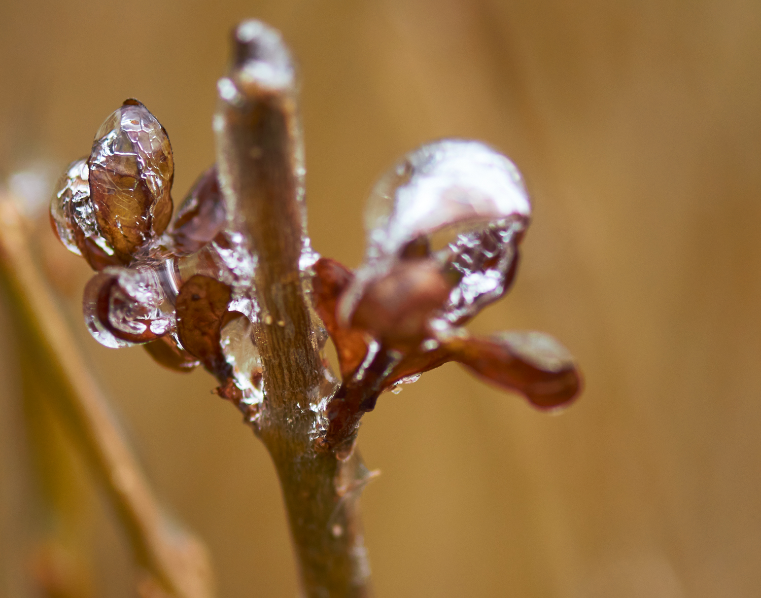 Ice-Coated Buds