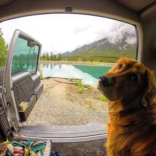 This is Winston the camp dog!  He will very likely be greeting you when you pull into Camp Moose Trail.  His duties included protecting the camp from squirrels and birds and his hobbies include protecting the camp from squirrels and birds!  Nice when you love your job eh!? #campmoosetrail . . . #camping #goldenbc #explorecanada #canmore #bc #banff #banffnationalpark #yohonationalpark #yyc #calgary #campingideas #glamping #glamp #glampingcanada #goldenretriever #dogs #campvibes #goodtimesoutside #optoutside #outsideproject