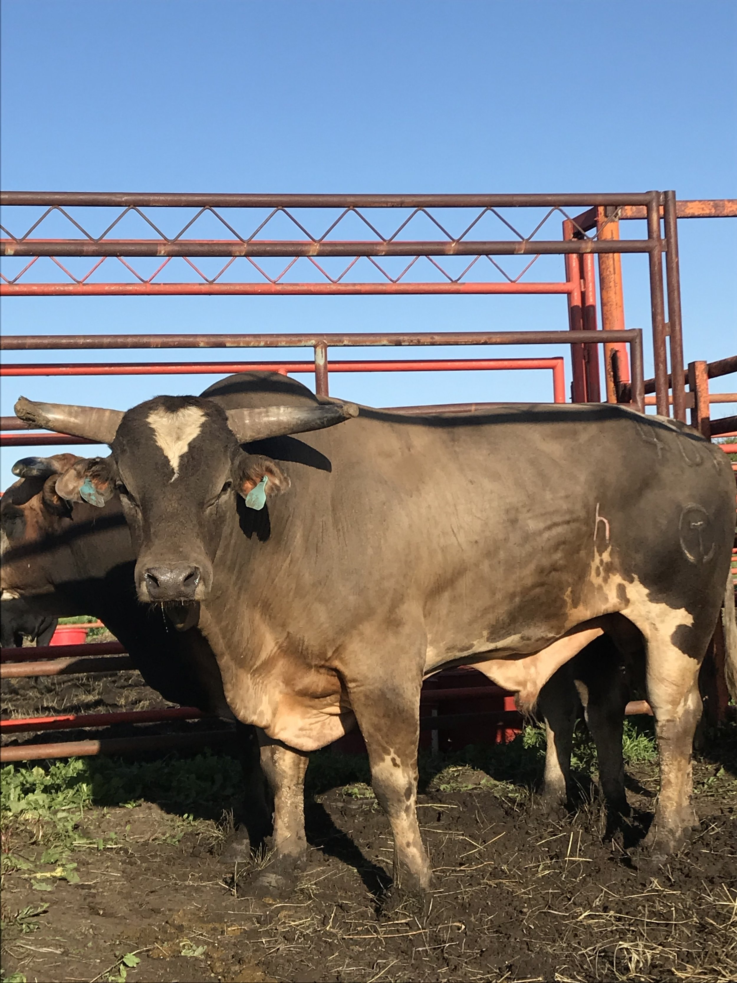 Five year old 401 Party Rock, sired by Jack Daniel's After Party has been selected by Hedeman as the Bounty Bull for the Red Wilk Construction Bull Bash at the South Dakota State Fair