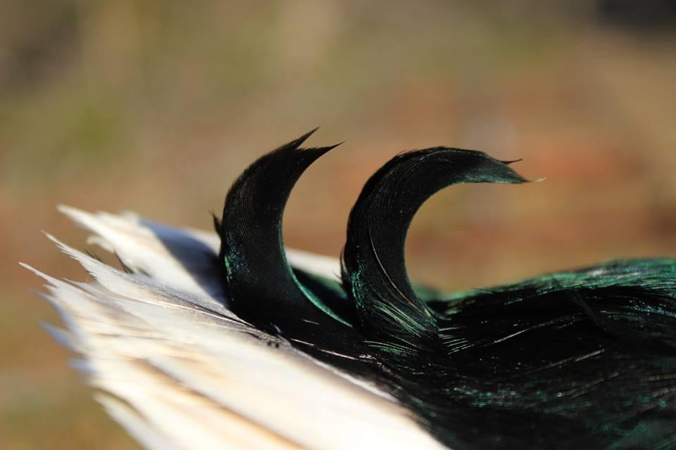 Mallard Curls.jpg