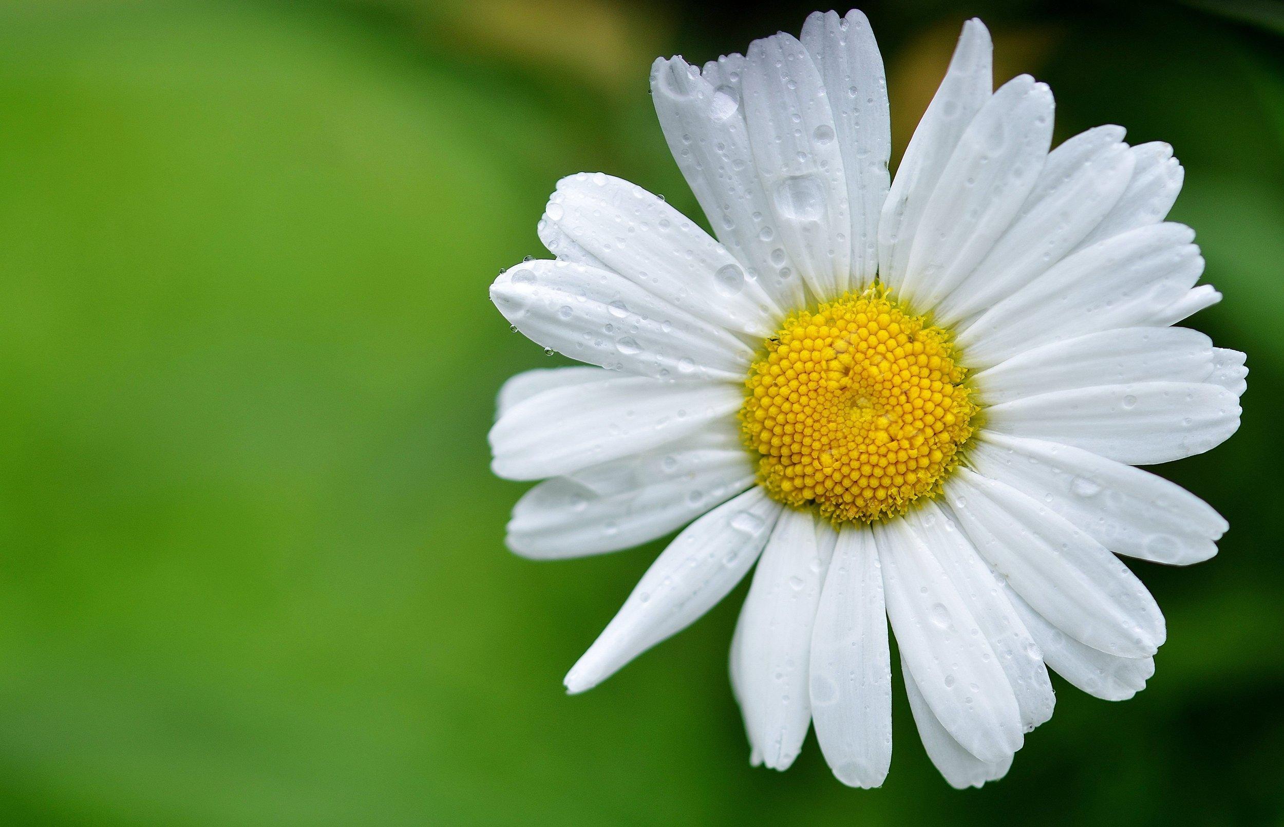bloom-blossom-daisy-68196.jpg