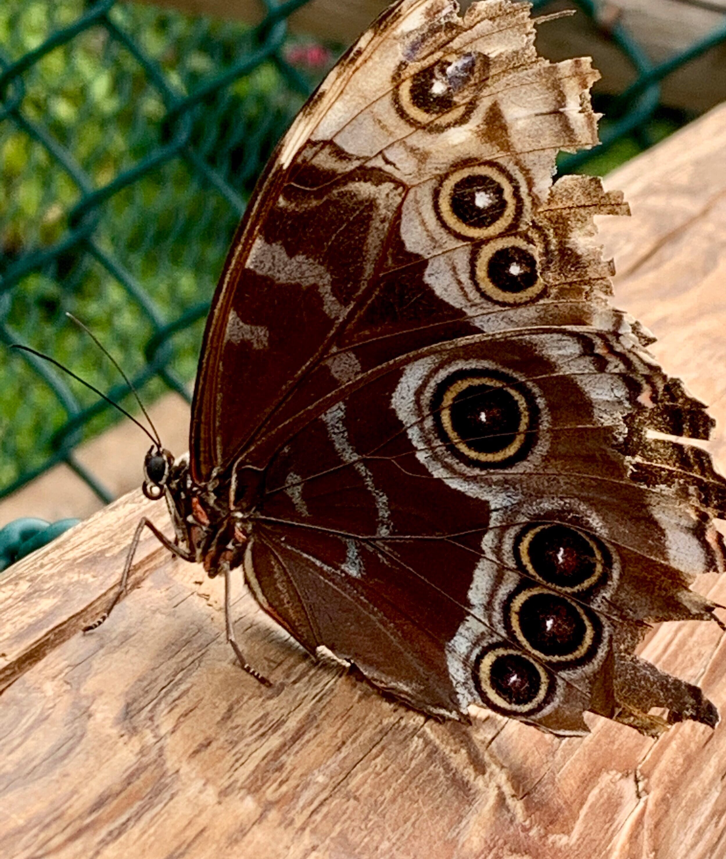 The fabulous Morpho, wings closed