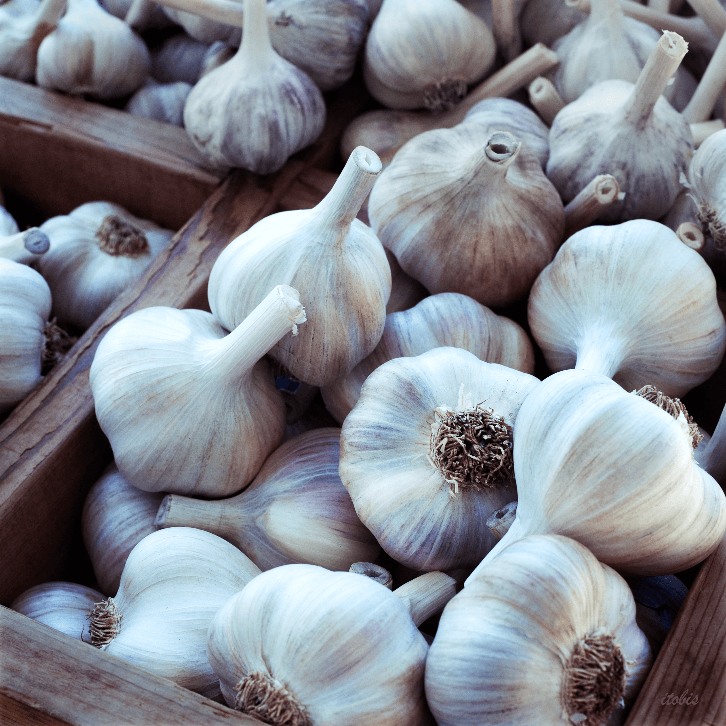 garlic-farmersmarket-VF104-itobis.png