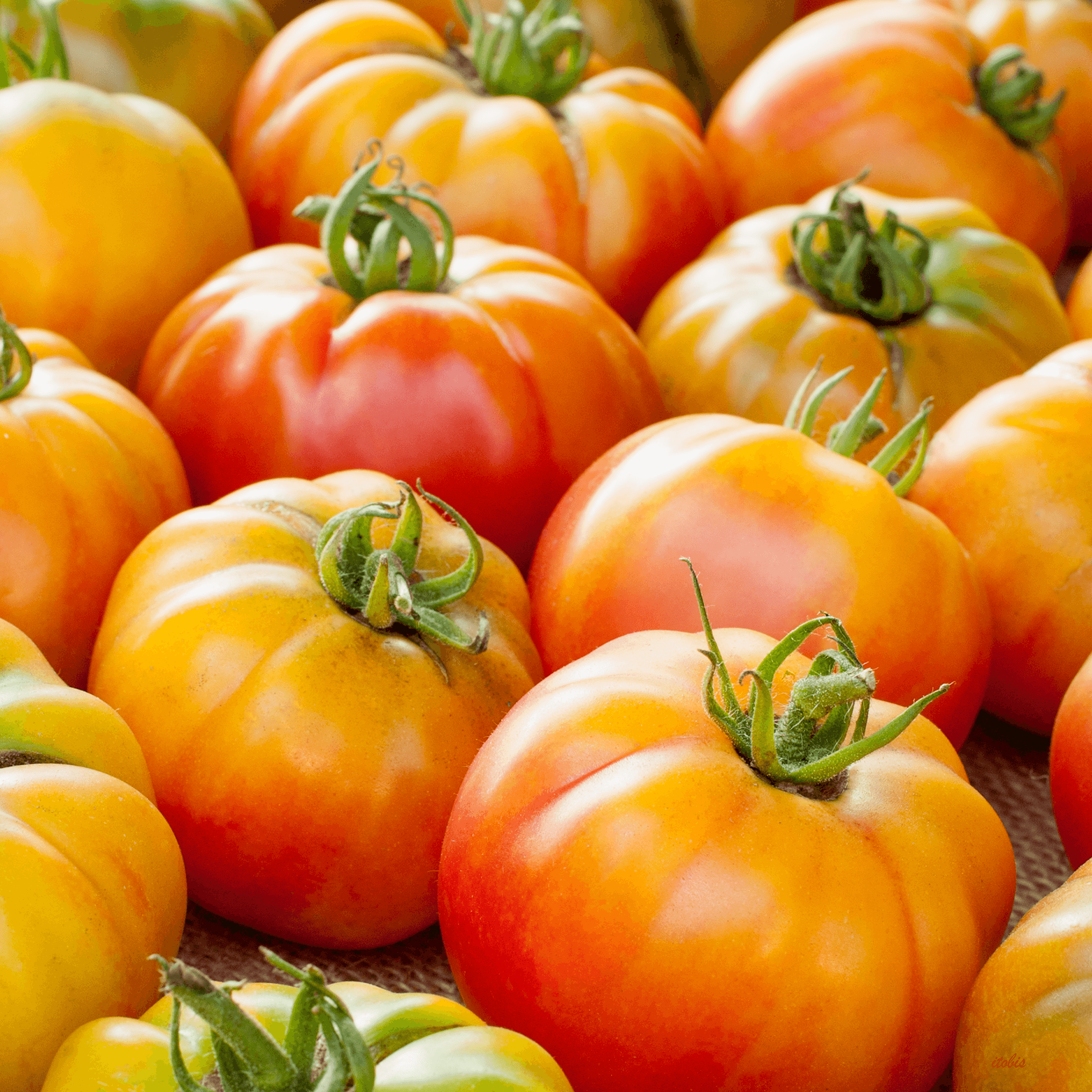 Tomatoes at the Market - Bramble Lea Farm - Beechwood Farmers' Market, Ottawa, Ontario - photo by Irene Tobis