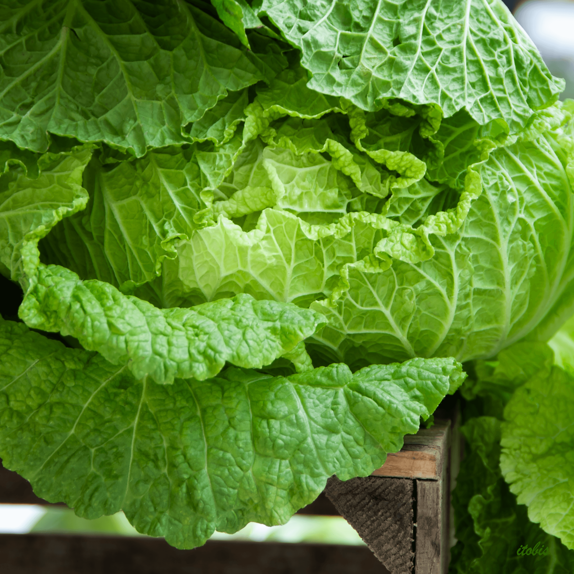 Cabbage at the Market - Roots Down Organic Farm - Ottawa Farmers' Market, Lansdowne Park, Ottawa, Ontario - photo by Irene Tobis