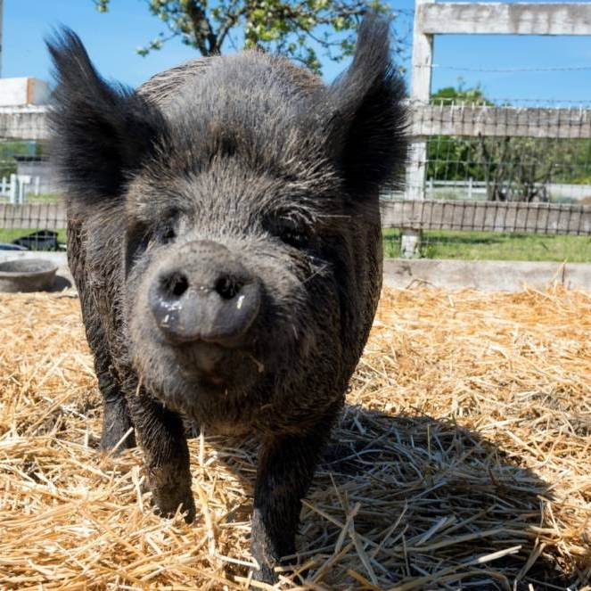 kqed news    Pigs Fleeing North Bay Fires Find Refuge in Half Moon Bay