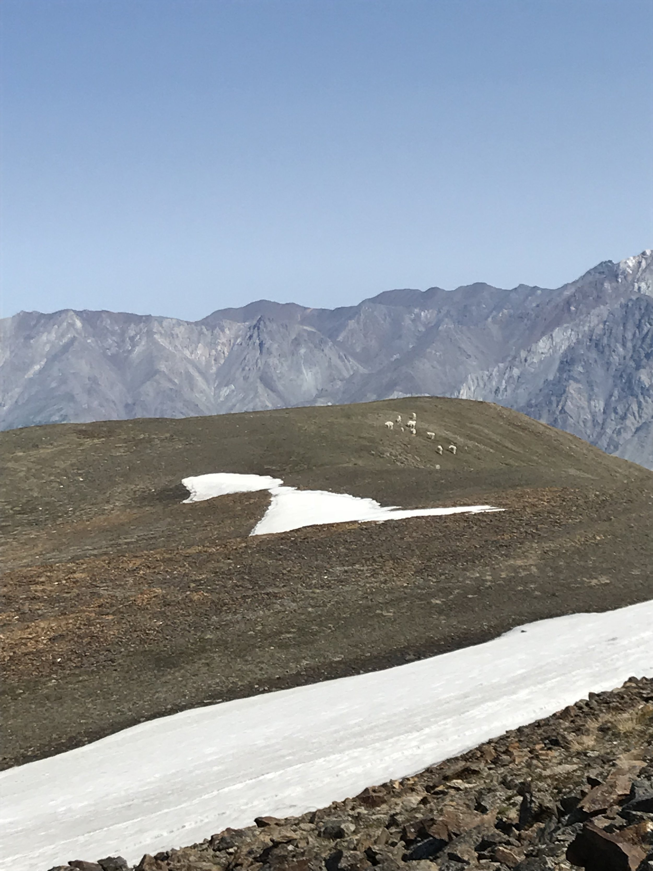 Dall sheep on the other side of the summit of Observation Mountain.