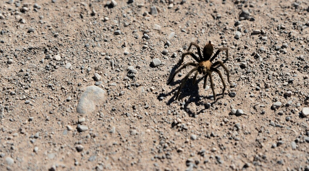A tarantula that we spotted in the park.
