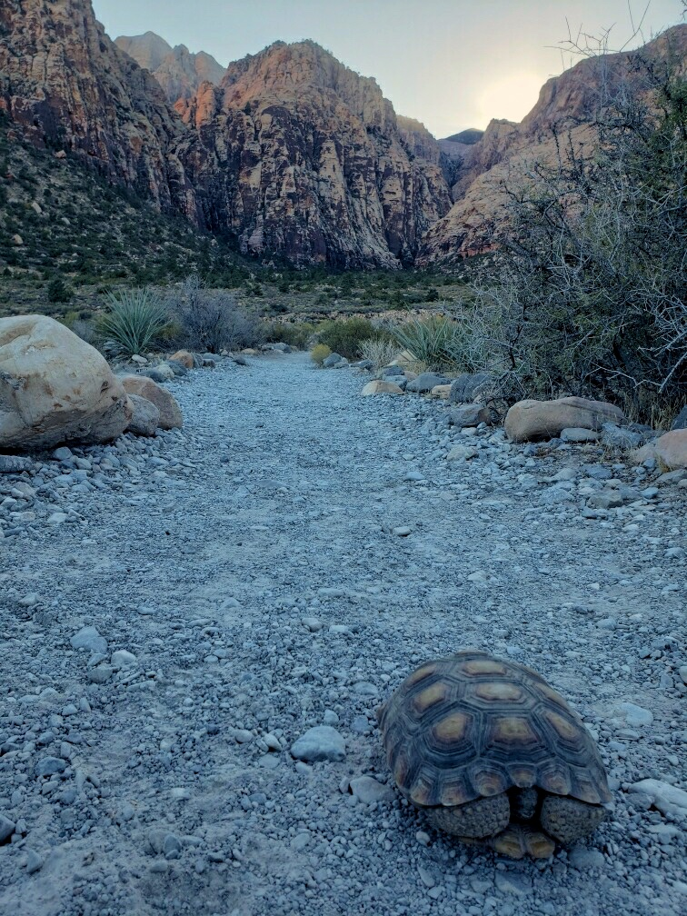 A Desert Tortoise along the trail to Ice Box Canyon.