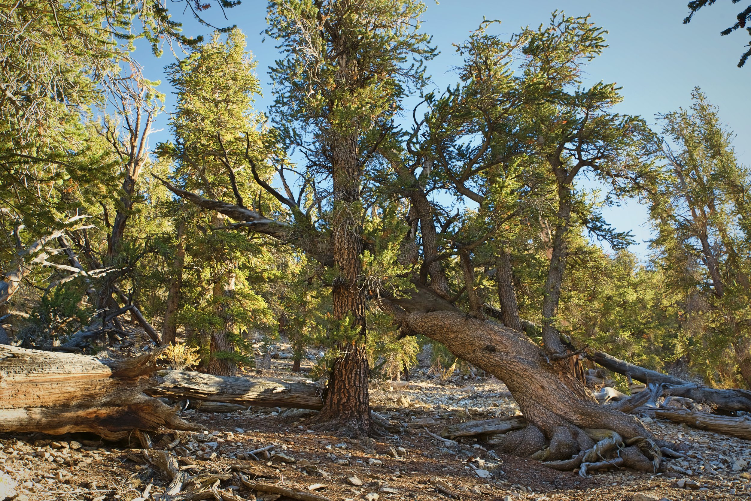 Bristlecone pines can grow in the harsh alpine conditions of the White Mountains.