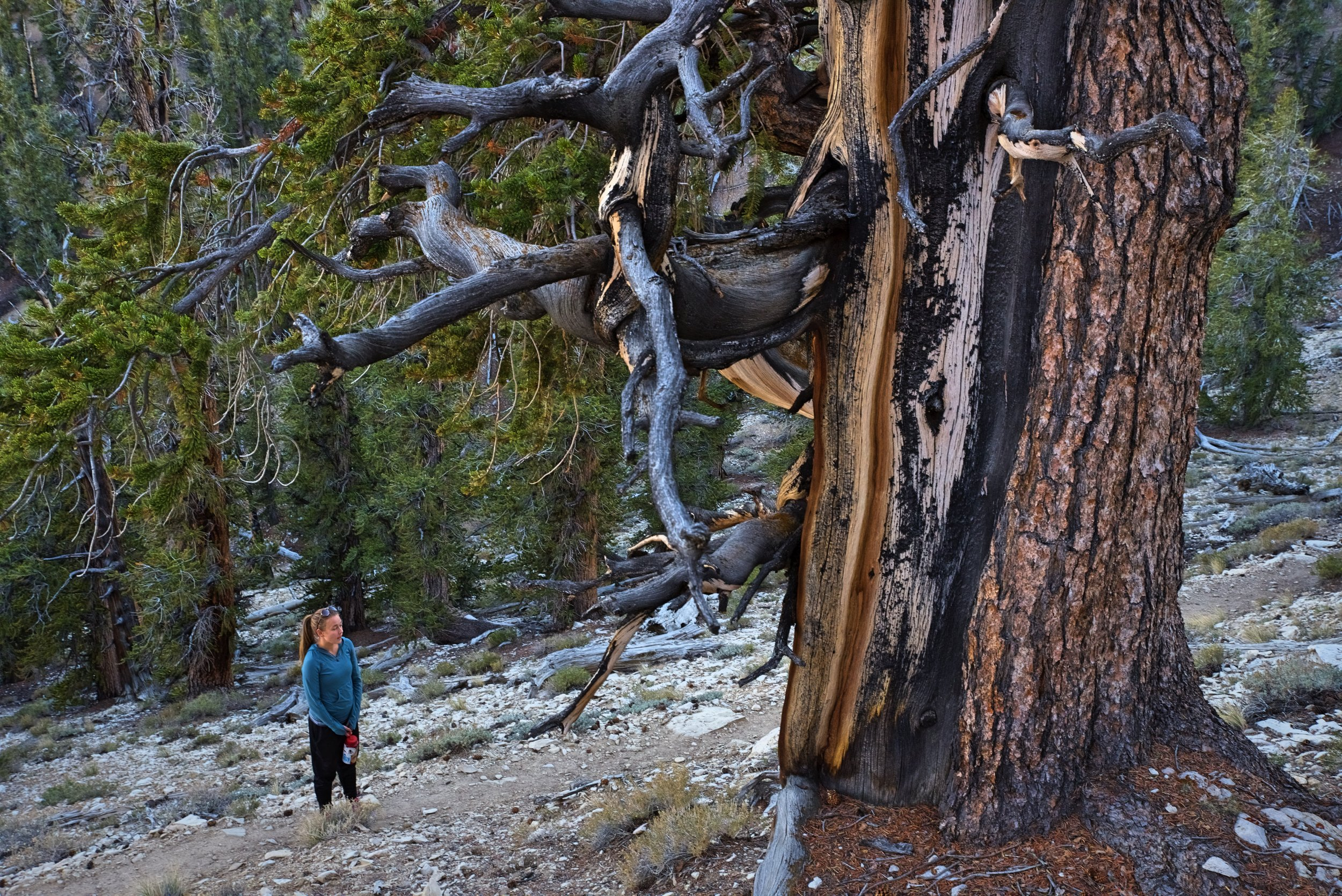 Methuselah may be the oldest, but all the trees in the grove are unfathomably old.